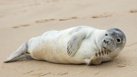 Norfolk seals