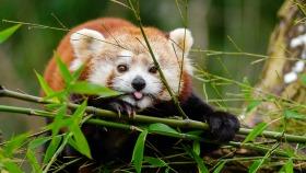 Highland Wildlife Park red panda