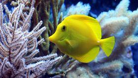yellow fish in coral marine tank