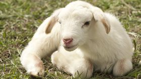 white lamb lying on field of grass