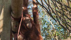 chimpanzee holding a climbing frame at monkey world