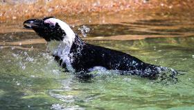 A penguin at Living Coasts