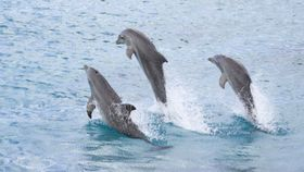 pod of dolphins jumping in the sea