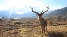 red deer against Scottish landscape