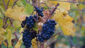 black grapes growing in a vineyard